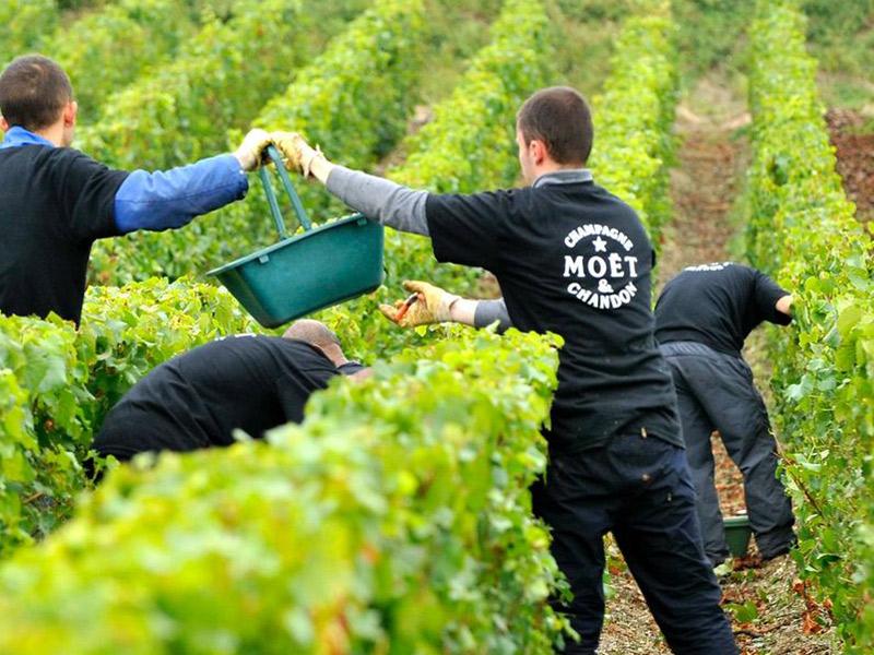 https://winelist.nl/media/cache/16x9_thumb/media/image/brand-banner/MoetChandon_harvest.jpg